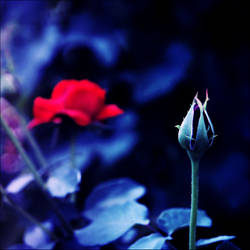 Rose life