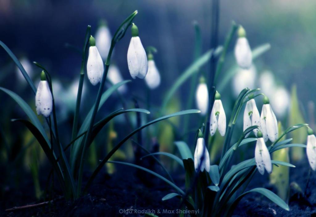 snowdrops by Enkidulan