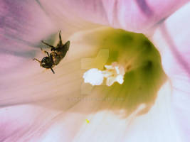 Litte Bee in Morning Glory