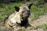 Striped Hyena 10