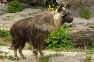 Brown Hyena 14 by RHCP-Cream