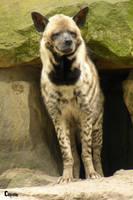 Striped Hyena 13 by RHCP-Cream