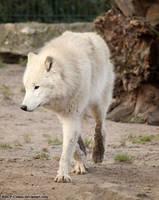 Arctic Wolf by RHCP-Cream