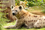 Spotted Hyena 05