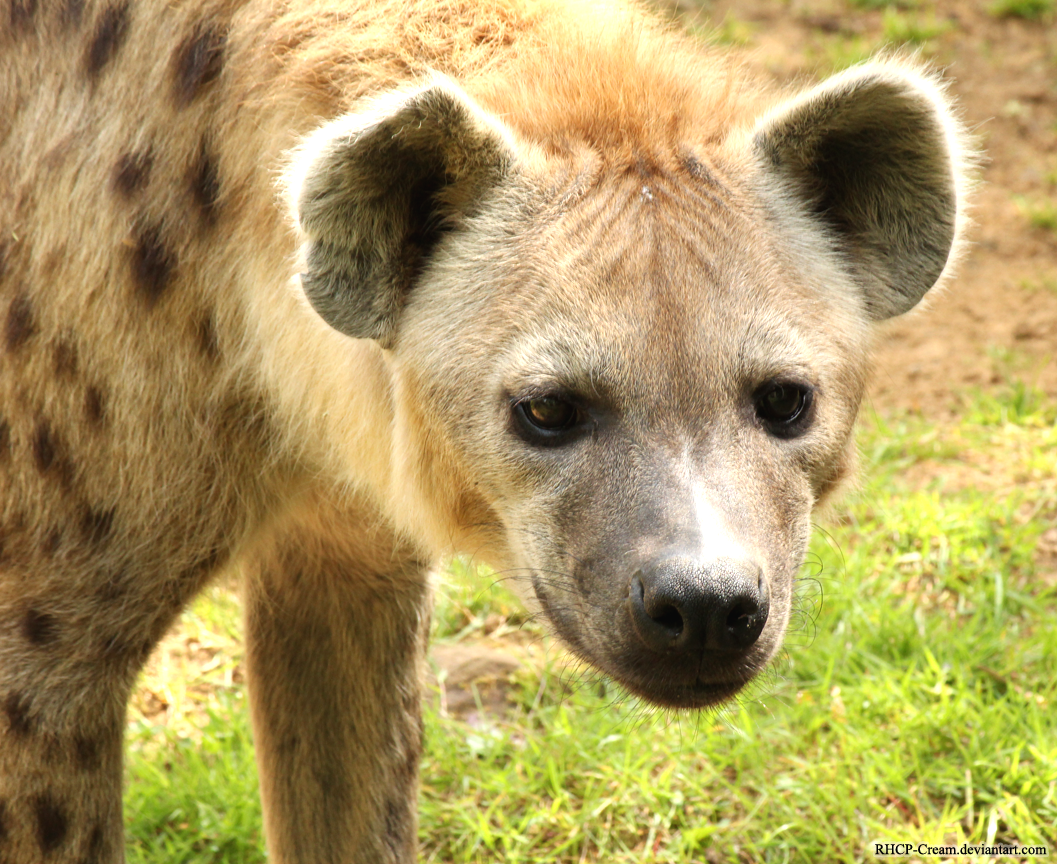 Spotted Hyena 06 by RHCP-Cream