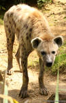 Spotted Hyena 08
