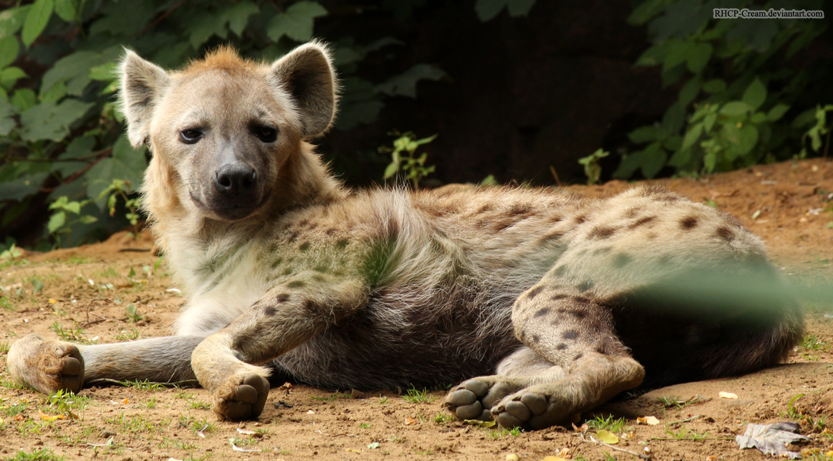Spotted Hyena 09 by RHCP-Cream