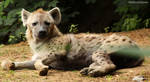 Spotted Hyena 09