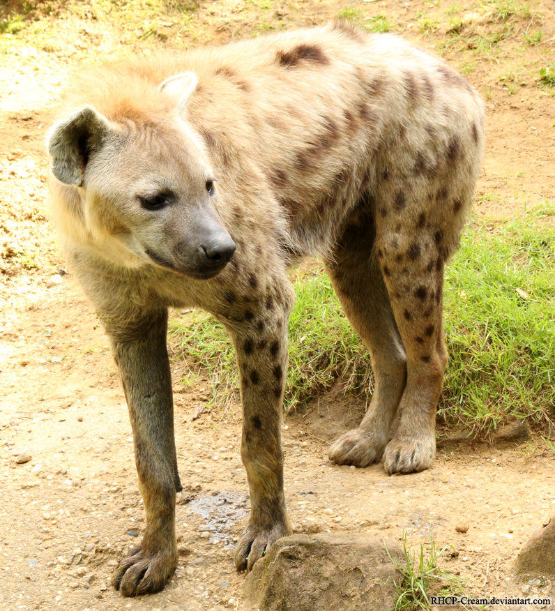 Spotted Hyena 11 by RHCP-Cream