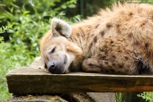 Spotted Hyena 12