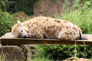 Spotted Hyena 13