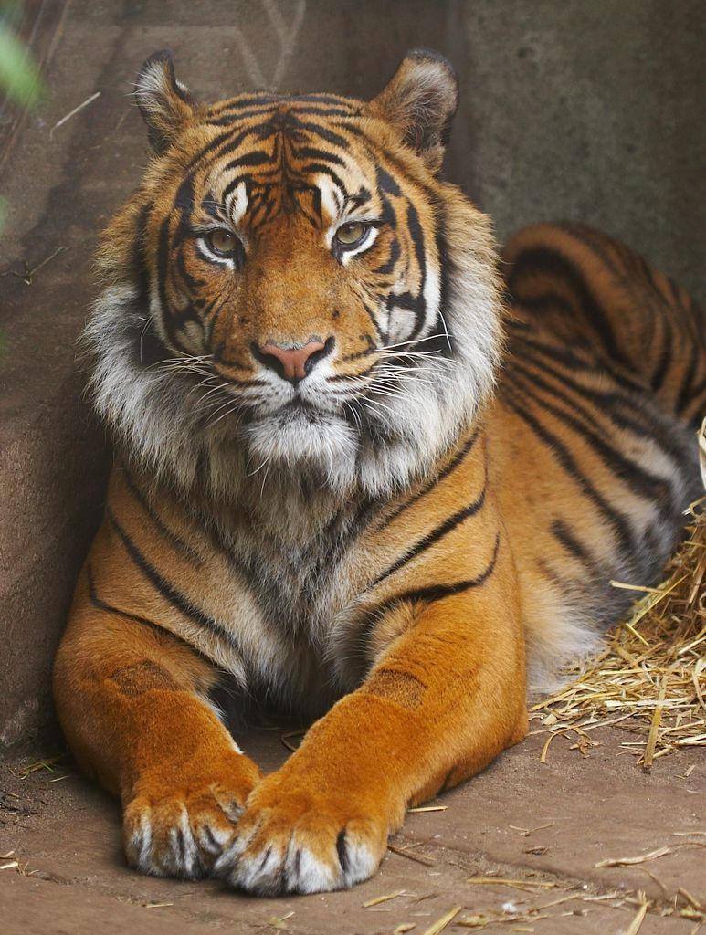 Tiger by mittelpunkt