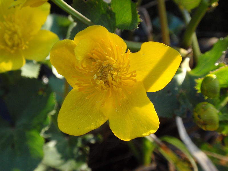 Marsh Marigold by It-is-Madness on DeviantArt