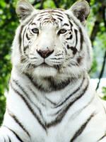 White bengal tiger by Elvira1990