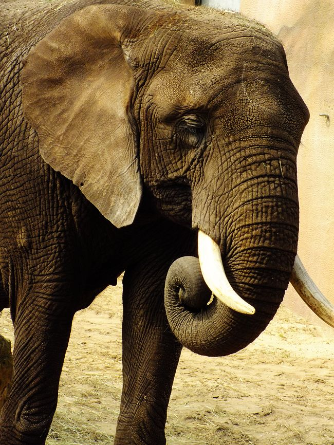 African Elephant by Elvira1990