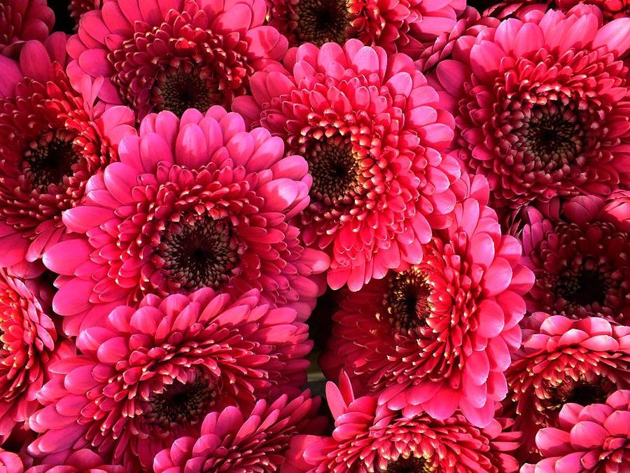 CVECE - Page 7 Pink_passion_by_elvira1990-d4gfmkc