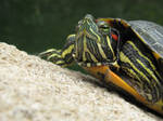 Stocker Terrapin