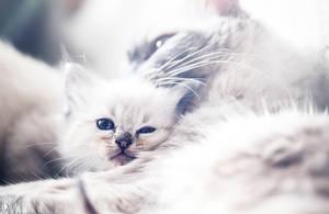 .kitten dreams. by awphotoart