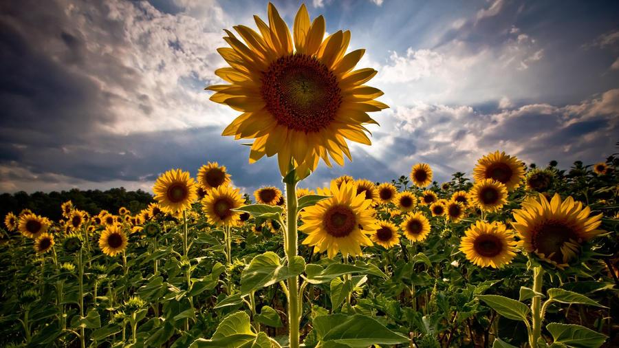 sunflower by somedayiws1