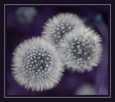 Pusteblumen by chemical-mischa