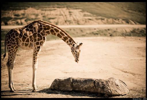 Sad Lonely Giraffe