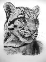 Clouded Leopard 04-11 by Dhekalia