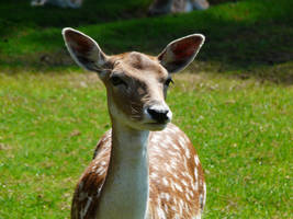 Portrait of a Doe by ThePusch