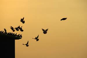Doves at sunset by Sahajalal