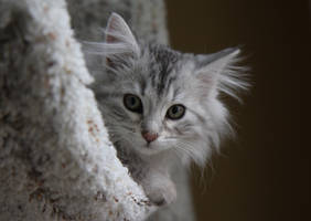 Sasha no. 1, Siberian Kitten by Mischi3vo