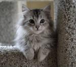 Sasha no. 2, Siberian Kitten