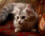 Siberian Kitten no. 4