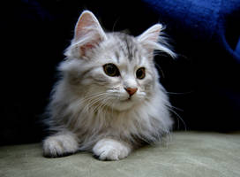 Siberian Kitten no. 5 by Mischi3vo