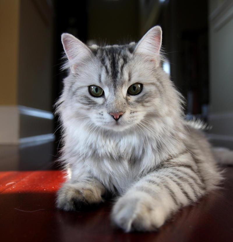 Siberian Cat, Sasha no. 1 by Mischi3vo on DeviantArt