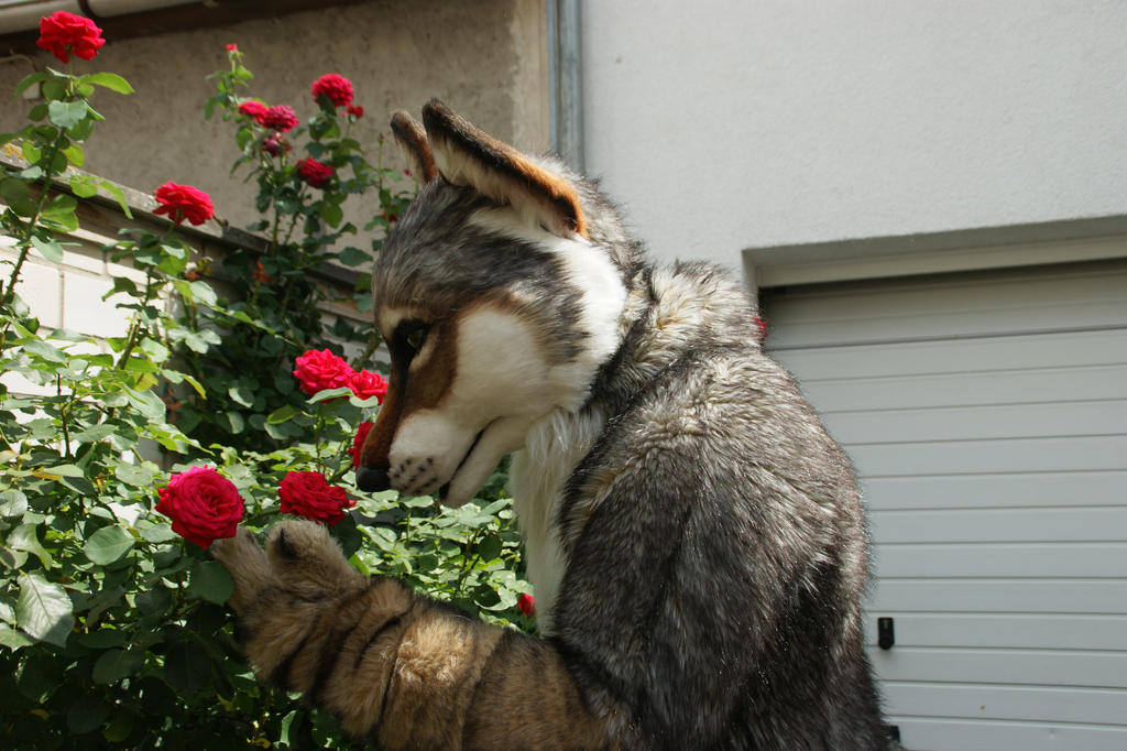 a coyote and some roses by lagan wolf on deviantart