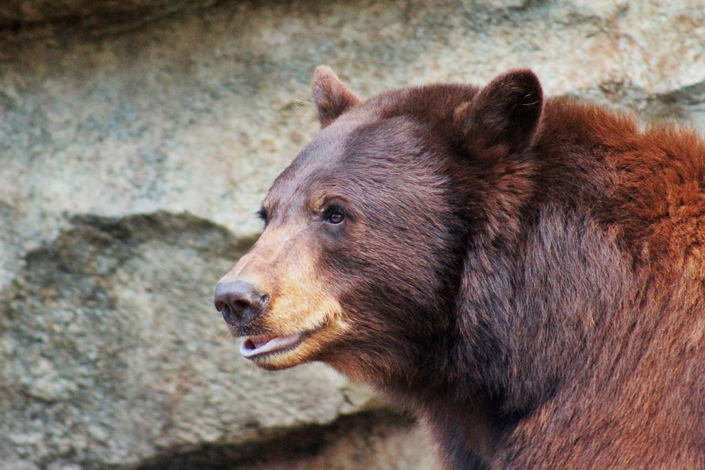 Papa Grizzly by SemioticPhotography