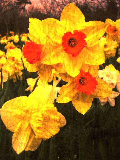 Daffodils by Elerie416