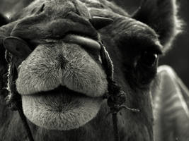 camel portrait by vikram-de-travancore