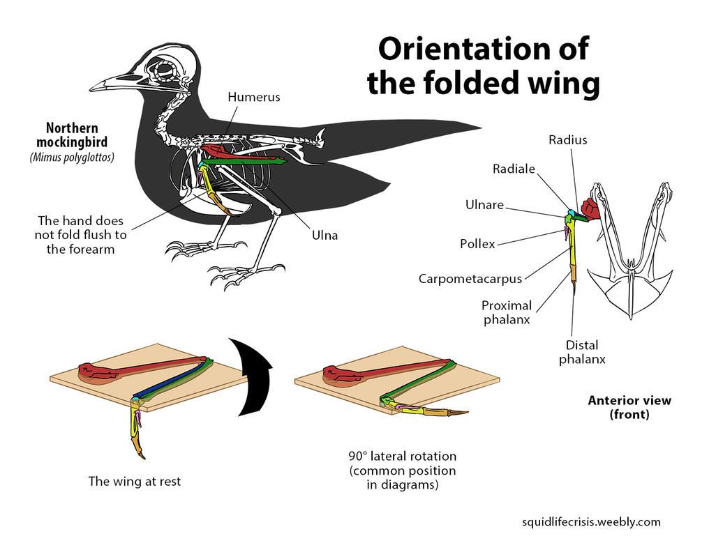 Taking Flight: A Beginner's Guide Into Drawing Wings  Folded Bird Wings