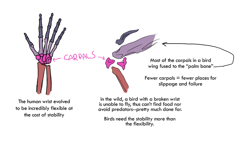 Carpals by squidlifecrisis