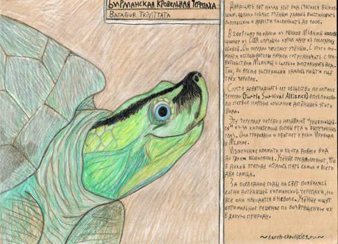 Burmese smiling turtle - critically endangered