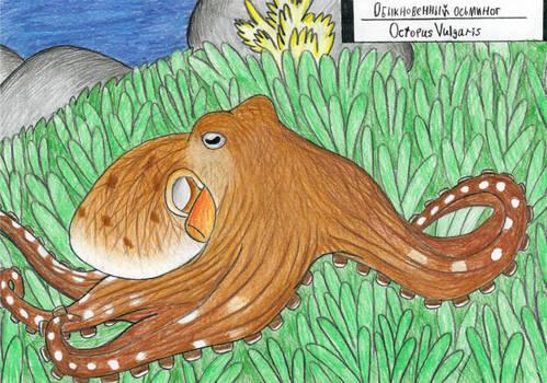 Octopus week: Common octopus