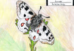 Apollo butterfly by EyweenaPterus