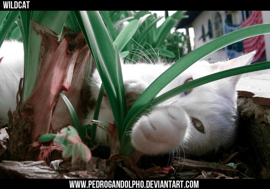 Wildcat by PedroGandolpho