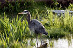 Great Blue Heron by Sunhillow