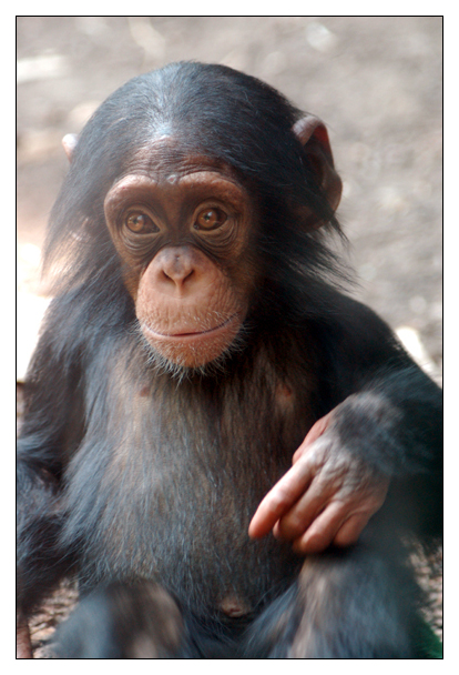 Baby Chimp by hoboinaschoolbus