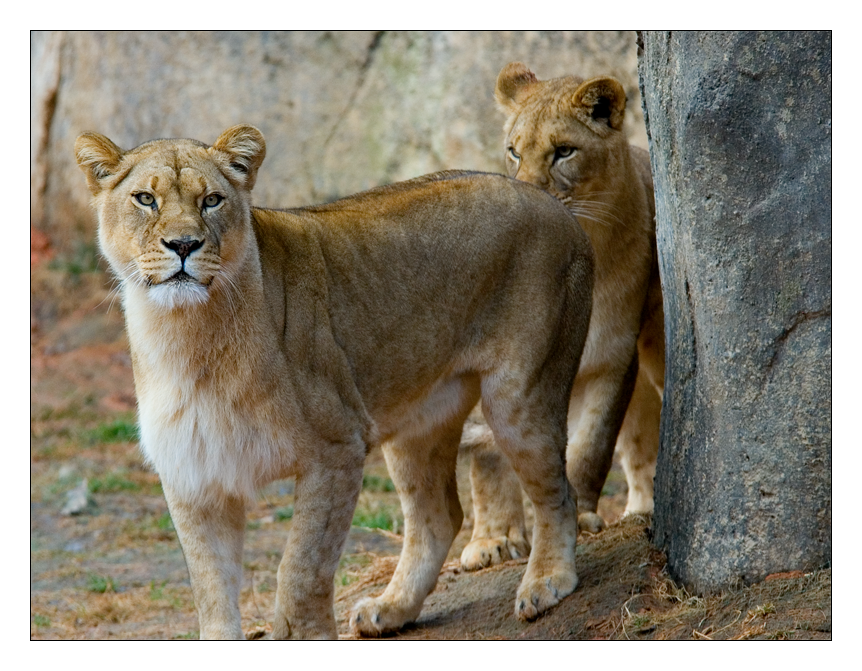 African Lion VI by hoboinaschoolbus
