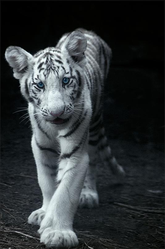 Tiger Cub Resub by hoboinaschoolbus