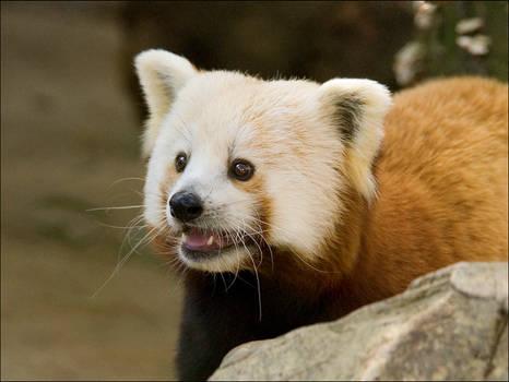 Red Pandas Rule