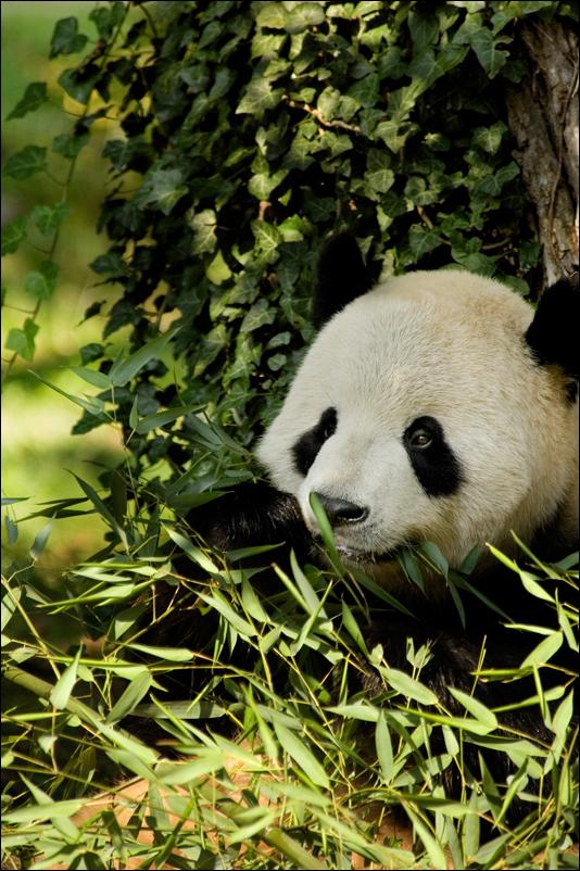 Munching Panda