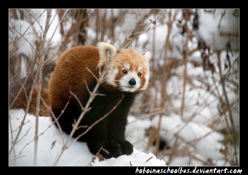 Pensive Panda by hoboinaschoolbus